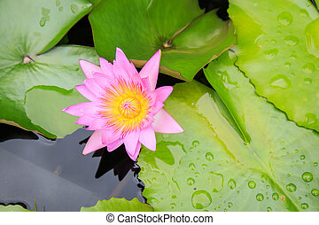 Lotus flower in water pond