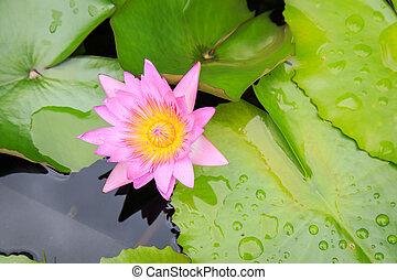 lotus, fleur, dans, eau, Étang,
