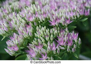 Sedum - Purple blooms. Sedum telephium \'Herbstfreude\'.
