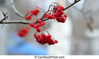 Field-ash tree with bright red berries - Rowan tree with...