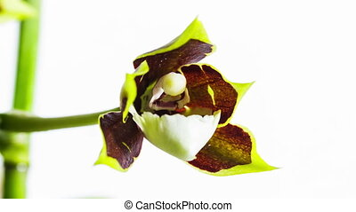 Opening Orchid Flower - Orchid Flower Blooming on a White...