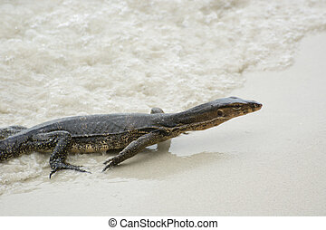 comodo monitor lizard on the beach.