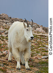 Nice Mountain Goat - a nice male mountain goat standing in...
