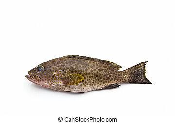 Fresh areolate grouper epinephelus areolatus fish - Fresh...