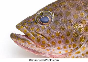 Fresh areolate grouper (epinephelus areolatus) fish . -...