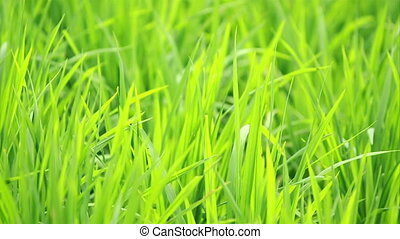 Paddy Background - view of paddy plant in paddy field in...