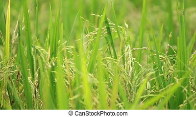 Paddy Field view - view of paddy plant in paddy field in...