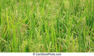 Paddy Field View 02 - view of paddy plant in paddy field in...