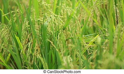 Paddy Field View 03 - view of paddy plant in paddy field in...