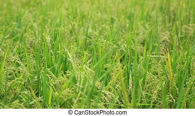 Paddy Field View 04 - view of paddy plant in paddy field in...