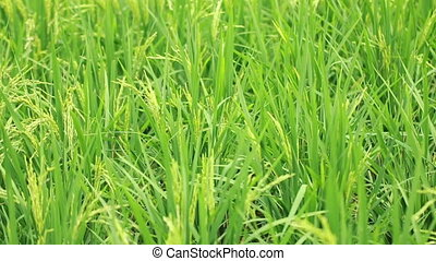 Paddy Field View 05 - view of paddy plant in paddy field in...