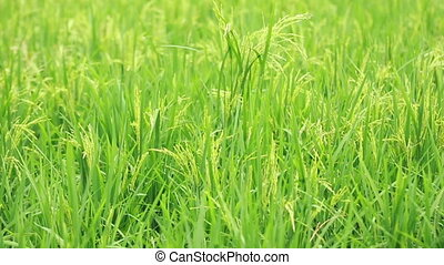 Paddy Field View 06 - view of paddy plant in paddy field in...