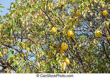 Stock de fotograf a de membrillo rbol rama frutas cuatro membrillo frutas csp2552691 - Membrillo arbol ...