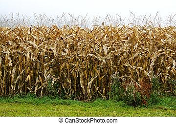 corn in the fields