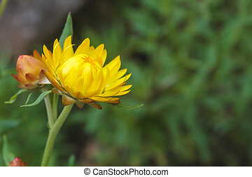 Everlasting flower (Helychrysum bracteatum) with natural...