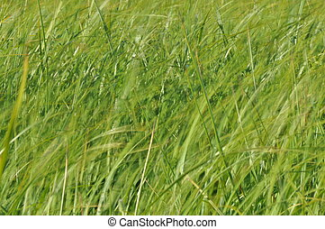 Sedges swaying in the wind. Wet meadow during haymaking....