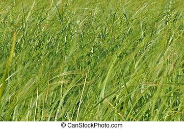 Sedges, balanceo, en, el, wind., mojado, pradera, Durante,...