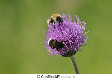 Bumblebee zapylaj?cy kwaiat. Food in the form of nectar....