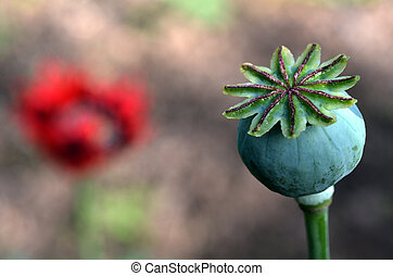 Opium poppy - Papaver somniferum - Opium poppy capsule...