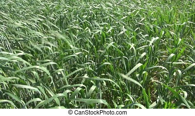 summer time farmland wheat plants background and wind