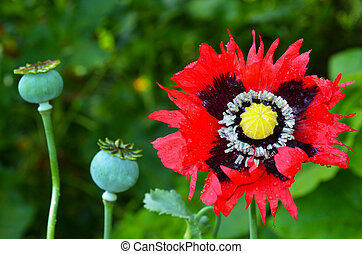 Opium poppy - Papaver somniferum - Opium poppy flower beside...
