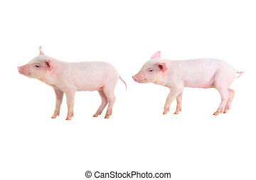 two pig on a white background. studio
