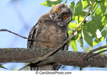 funny owl on branch - funny bird on branch, long eared owl (...