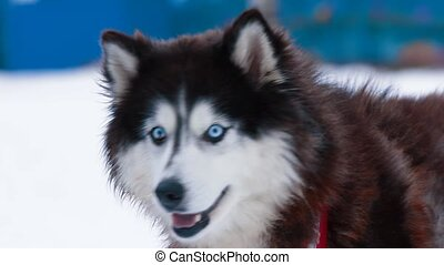 Husky dog portrait close up