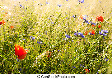 field flowers (poppy, cornflower) in early summer