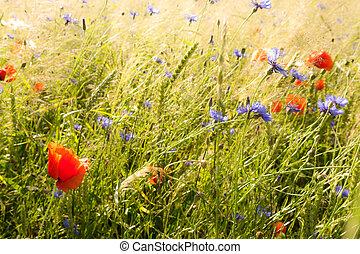 field flowers (poppy, cornflower) in early summer