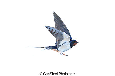 Swallow, Hirundo rustica, on a white background