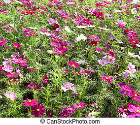 Cosmos sulphureus Cav vibrant colors blooming in the park.