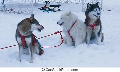 three dogs in harness - three dogs husky Samoyed and West...