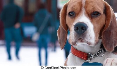 dog Beagle in the hands of the owner