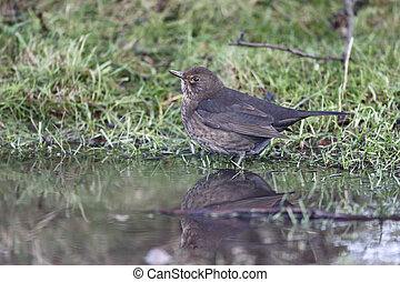 Blackbird, Turdus merula, single female drinking,...