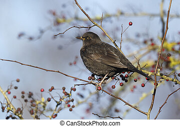 Blackbird, Turdus merula, single male eating hawthorn...