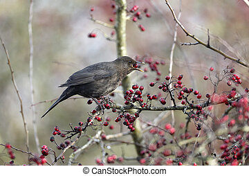 Blackbird, Turdus merula, single female eating hawthorn...