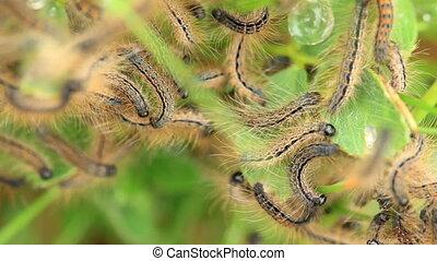 Young caterpillars in the nest (Lymantria dispar)