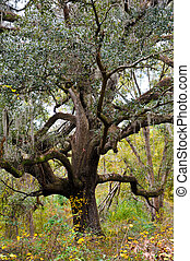 Live Oak - Large Live Oak Tree with Hanging Spanish Moss