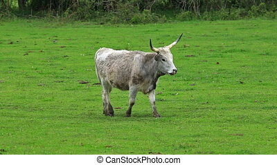 Beautiful hungarian grey cow in the field