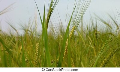 Green wheat growing in the field