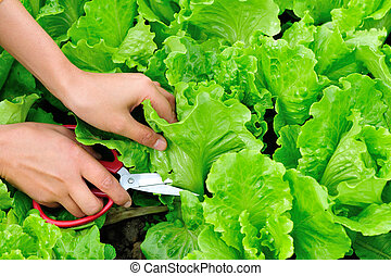 woman hands picking green lettuce - woman hands picking...