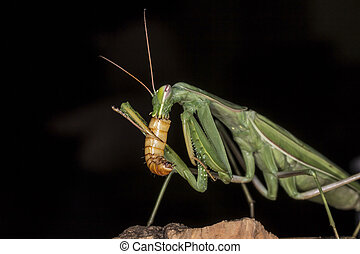 Praying mantis feeding - Close up and detailed photograph of...