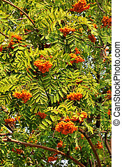 Rowanberry - Rowan tree with orange berries and green leaves...
