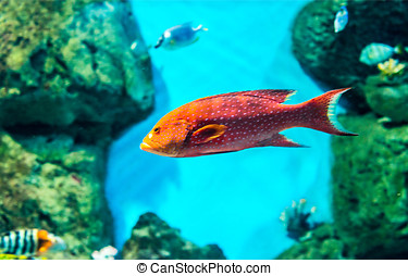 sea fishes - red grouper in coral reefs