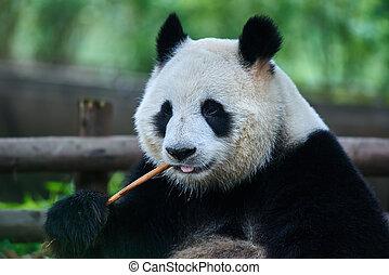 giant panda bear Sichuan China - one giant Panda bear eating...