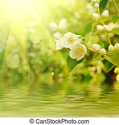 Jasmine flower growing on the bush in garden with sun rays...