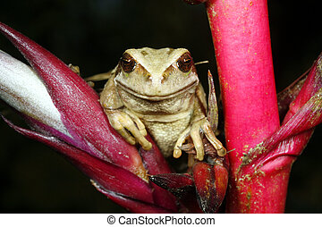 Marsupial frog Gastrotheca riobambae - On a bromeliad flower...