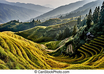 rice terraced fields Wengjia longji Longsheng Hunan China -...