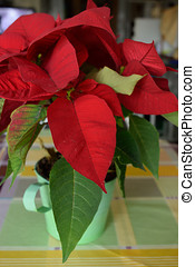 Poinsettia - Beautiful poinsettia in the kitchen